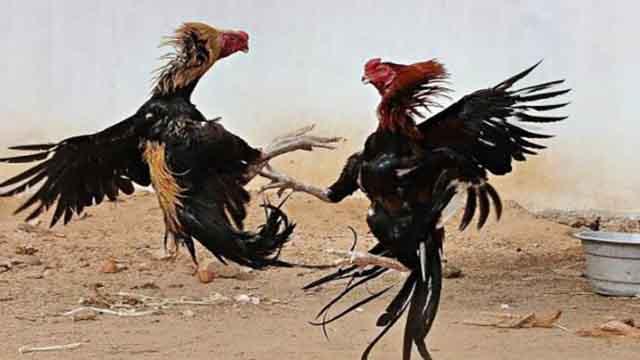 Agen Resmi Judi Sabung Ayam S128
